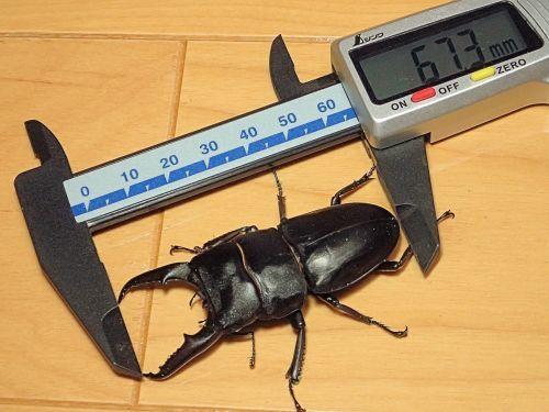 本土ヒラタクワガタ・80系の♂最大羽化個体サイズは?_a0315918_20015121.jpg