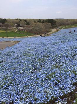 ひたちなか海浜公園では、花達が見頃を迎えています。_a0251920_1161836.jpg
