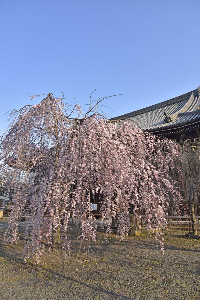 京都二日目、Ⅱ、平野神社と立本寺_e0367330_21142568.jpg