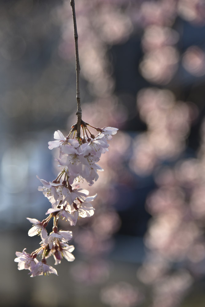 京都二日目、Ⅱ、平野神社と立本寺_e0367330_21161470.jpg