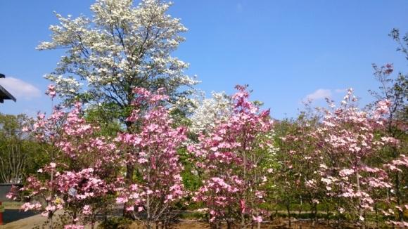 花と緑の別世界、ハナミズキの森。_d0116059_11145411.jpg