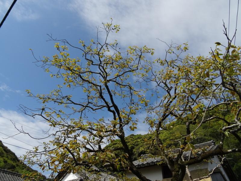 立枯れヤマザクラ伐採&搬送・・・孝子の森  by  (TATE-misaki)_c0108460_20305288.jpg