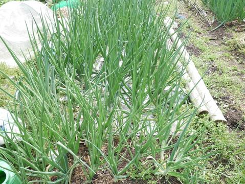 フキ、昨年より約2週間遅れて収穫、キャラブキに4・23_c0014967_1910717.jpg