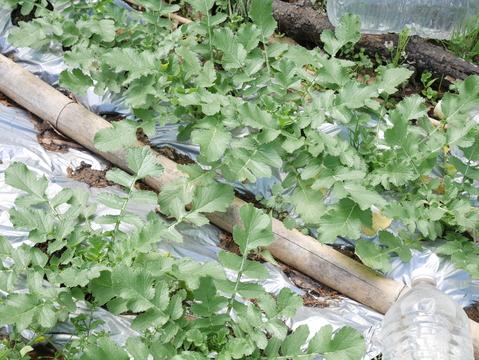 フキ、昨年より約2週間遅れて収穫、キャラブキに4・23_c0014967_19123421.jpg