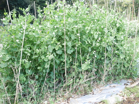 フキ、昨年より約2週間遅れて収穫、キャラブキに4・23_c0014967_191236.jpg