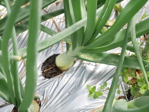 フキ、昨年より約2週間遅れて収穫、キャラブキに4・23_c0014967_1994951.jpg