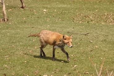 4月23日12:30頃、札幌の中島公園で狐(?)を見ました。_f0362073_23070786.jpg
