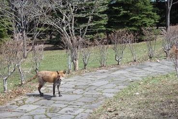 4月23日12:30頃、札幌の中島公園で狐(?)を見ました。_f0362073_23074155.jpg