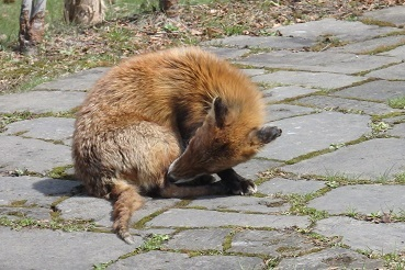 4月23日12:30頃、札幌の中島公園で狐(?)を見ました。_f0362073_23080983.jpg