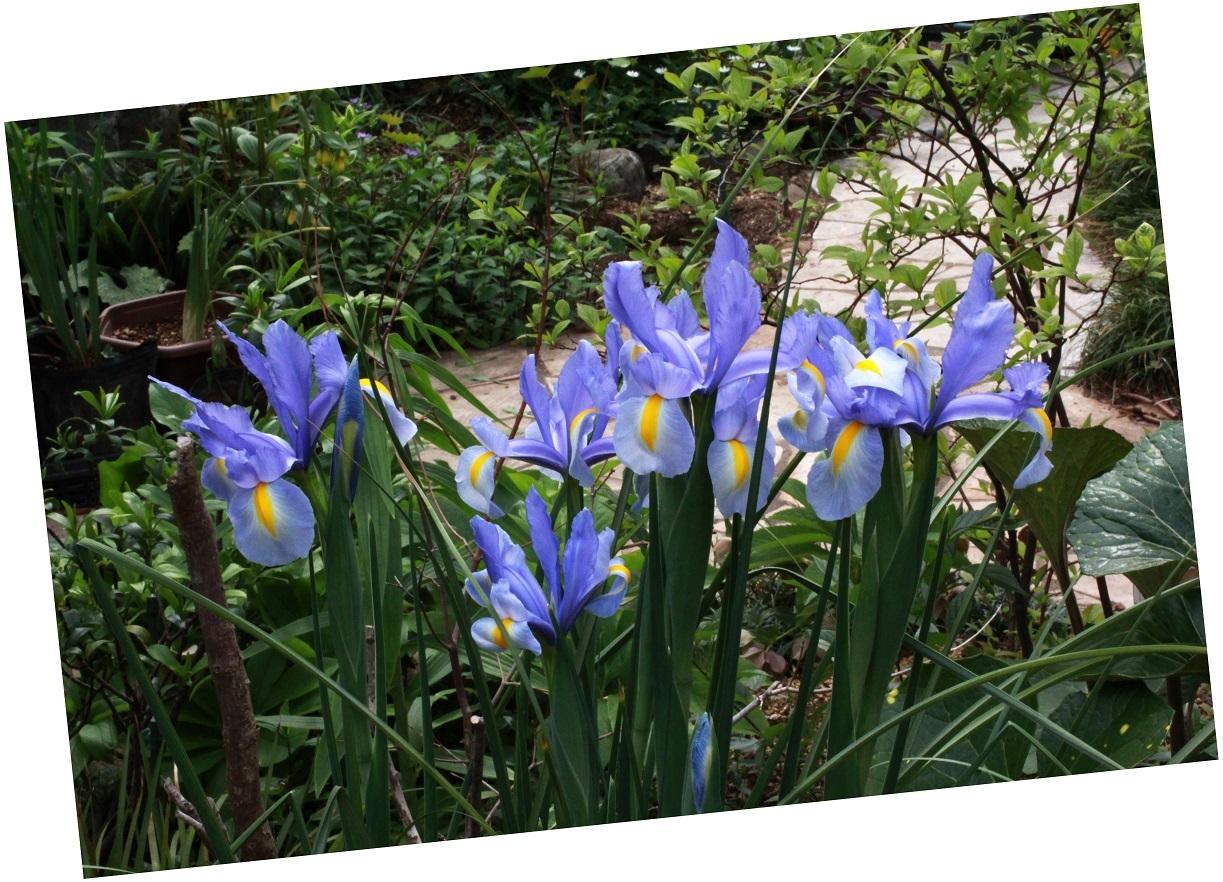 天下の春は一人の春 ~ダッチアイリス、ナデシコ~_a0107574_19551677.jpg