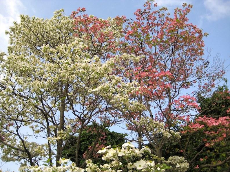 梅、桜、桃、藤・・・そしてハナミズキ_b0057679_09134853.jpg