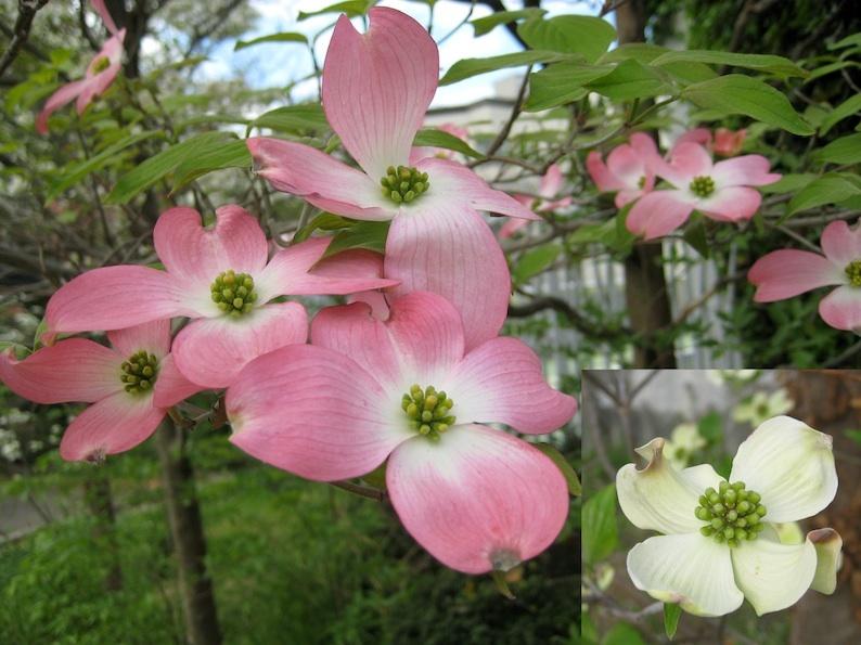 梅、桜、桃、藤・・・そしてハナミズキ_b0057679_09135883.jpg