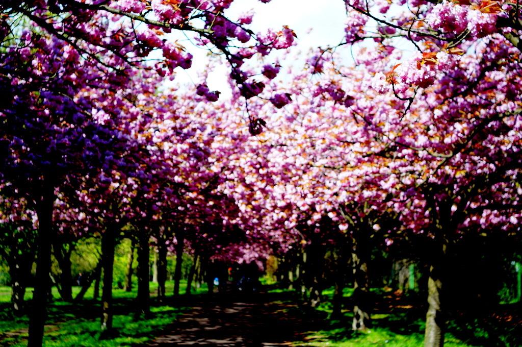 ノルウエー通りの八重櫻並木。_c0180686_16110256.jpg