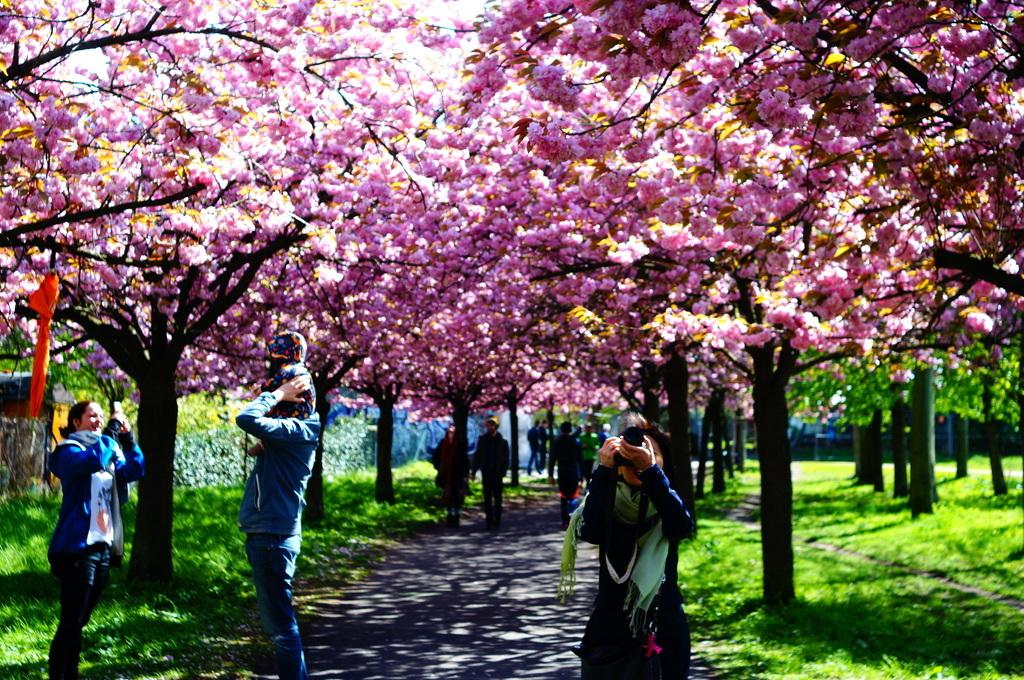 ノルウエー通りの八重櫻並木。_c0180686_16111133.jpg