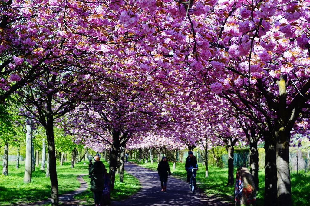 ノルウエー通りの八重櫻並木。_c0180686_16113013.jpg