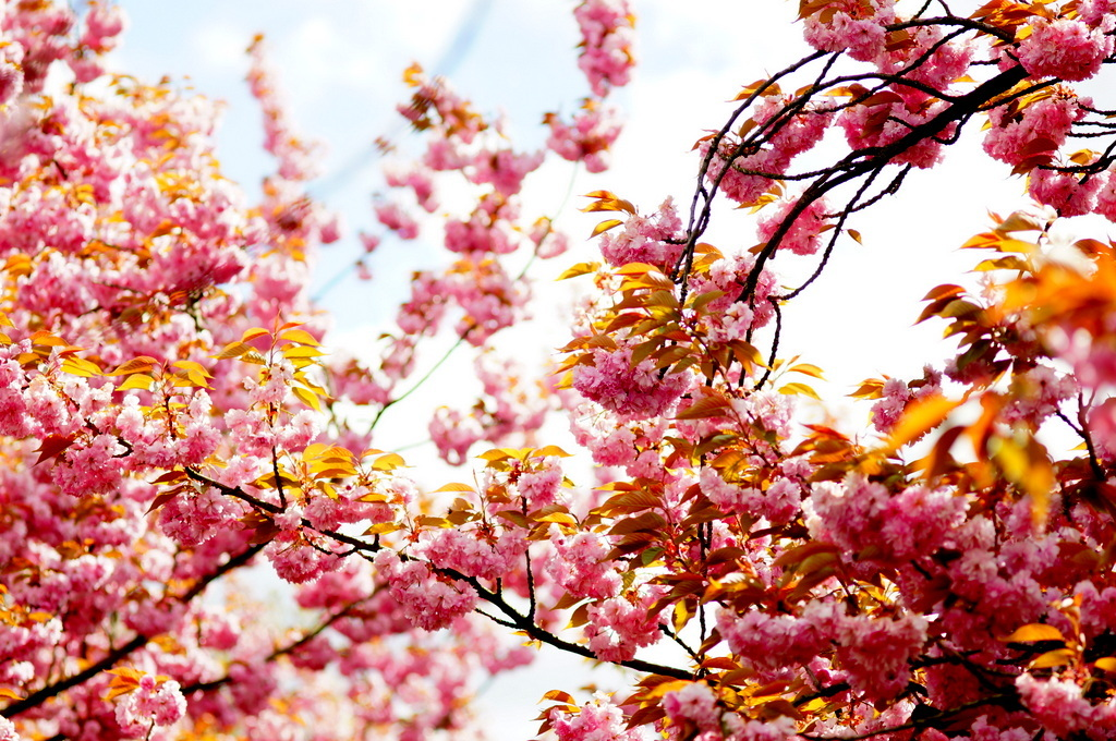 ノルウエー通りの八重櫻並木。_c0180686_16115664.jpg