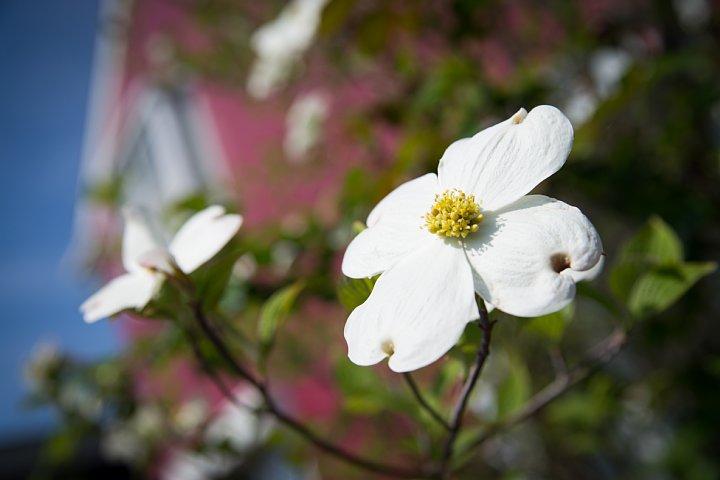 今年も咲いたよハナミズキ♪_d0353489_9124140.jpg