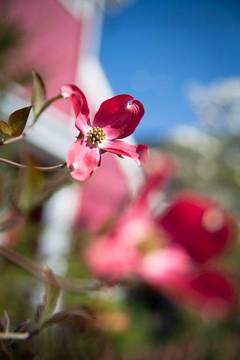 今年も咲いたよハナミズキ♪_d0353489_9125710.jpg