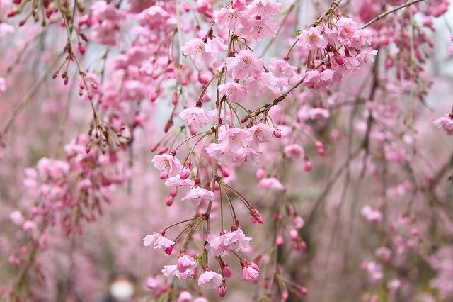 京都 府立植物園の桜 2017 春_f0374092_21434714.jpg