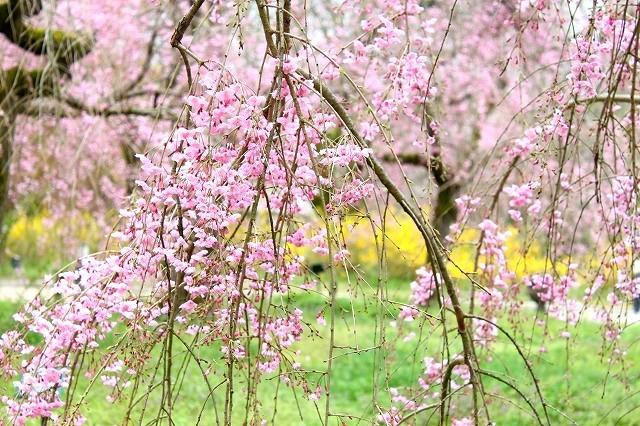京都 府立植物園の桜 2017 春_f0374092_21493222.jpg