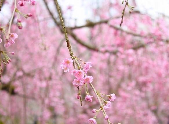 京都 府立植物園の桜 2017 春_f0374092_21512241.jpg
