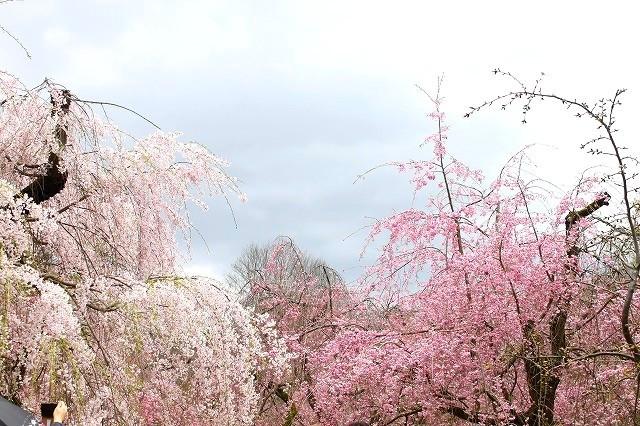 京都 府立植物園の桜 2017 春_f0374092_21521045.jpg