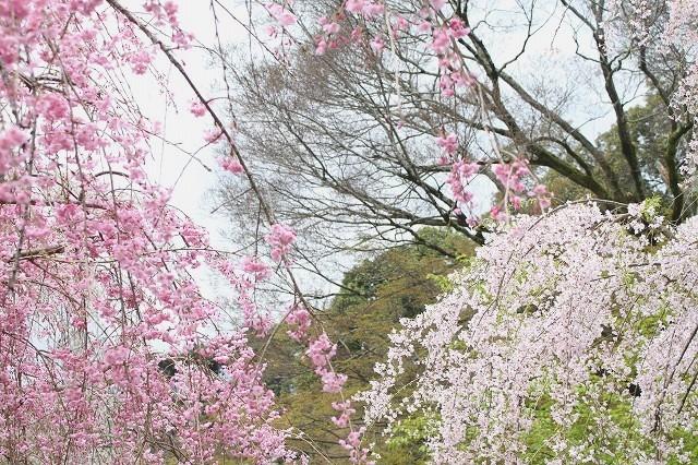 京都 府立植物園の桜 2017 春_f0374092_21525068.jpg