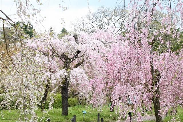 京都 府立植物園の桜 2017 春_f0374092_21541096.jpg