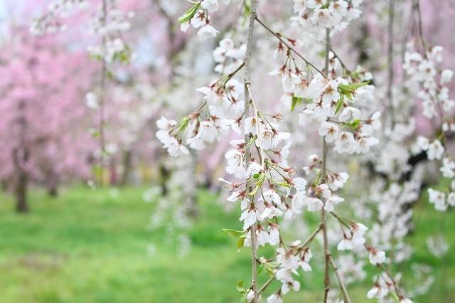 京都 府立植物園の桜 2017 春_f0374092_21543249.jpg