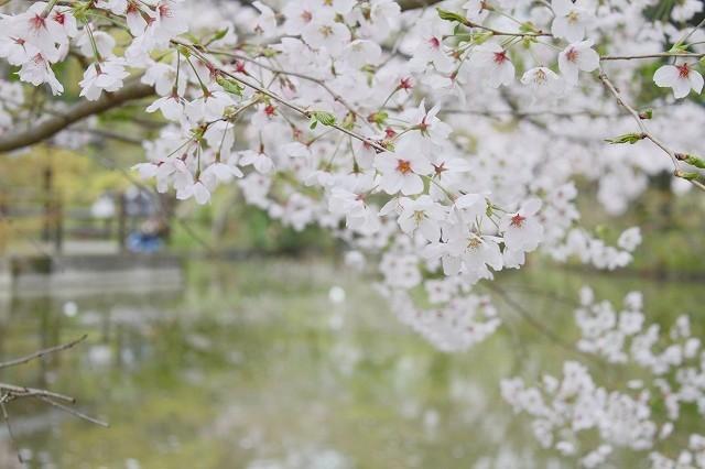 京都 府立植物園の桜 2017 春_f0374092_21545844.jpg
