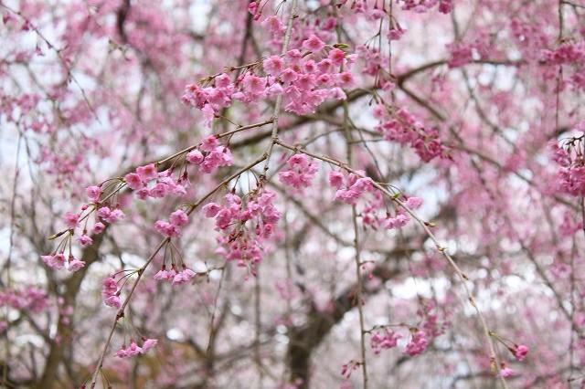 京都 府立植物園の桜 2017 春_f0374092_21553197.jpg