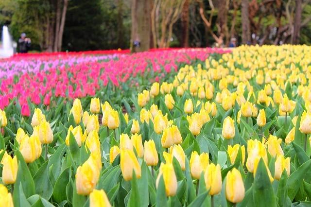 京都 府立植物園の桜 2017 春_f0374092_21564320.jpg