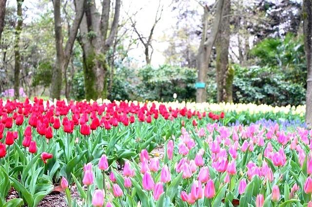 京都 府立植物園の桜 2017 春_f0374092_21583249.jpg