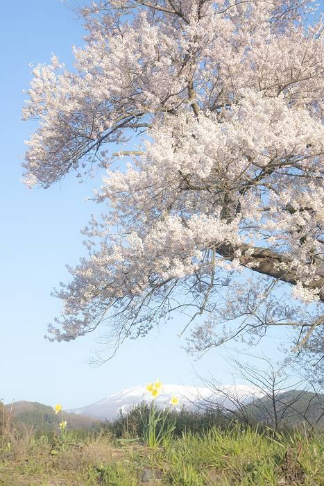 近辺の桜_c0077395_18561921.jpg