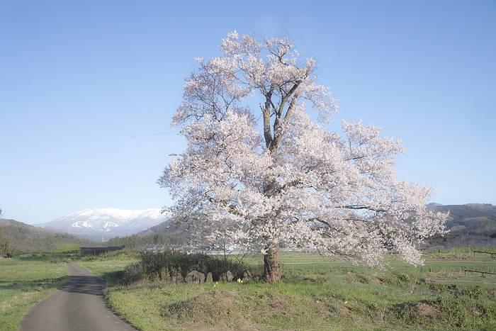 近辺の桜_c0077395_1856461.jpg