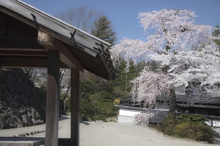 近辺の桜_c0077395_19423381.jpg
