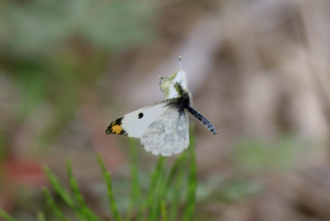 蝶コレクション_f0296999_17054344.jpg