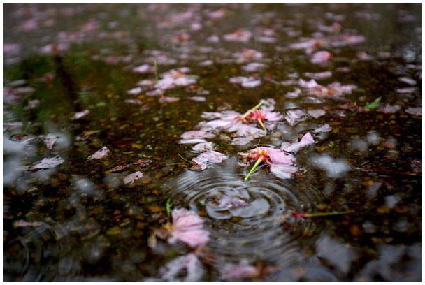 雨に散る_d0272207_2075760.jpg