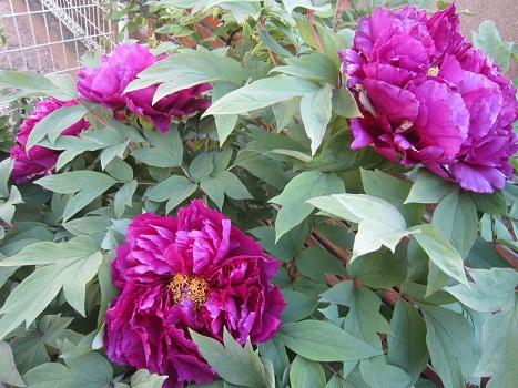 春の花が咲いています_b0177436_14582553.jpg