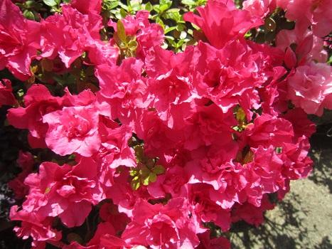 春の花が咲いています_b0177436_15237.jpg