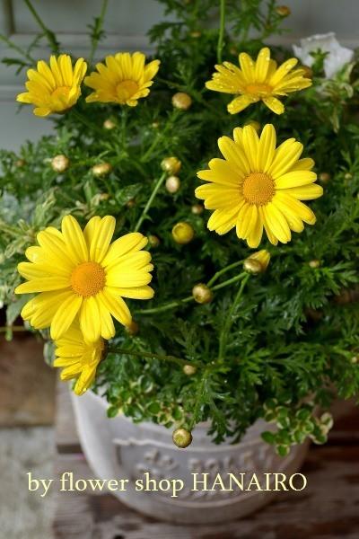 クリーム×イエローで爽やか!初夏を感じる寄せ植え&花苗の入荷情報♪_e0375748_15525811.jpg