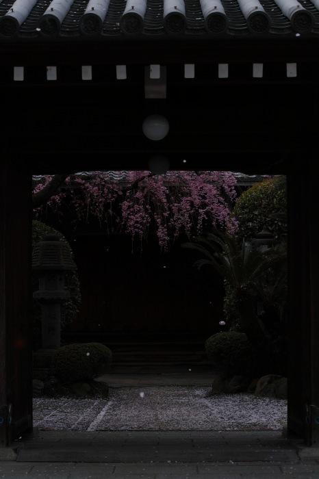桜  2017  伏見 中書島界隈_f0021869_23441630.jpg