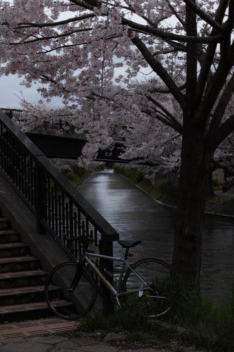 桜  2017  伏見 中書島界隈_f0021869_23444192.jpg