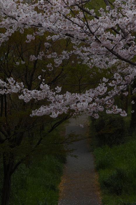 桜  2017  伏見 中書島界隈_f0021869_23450357.jpg