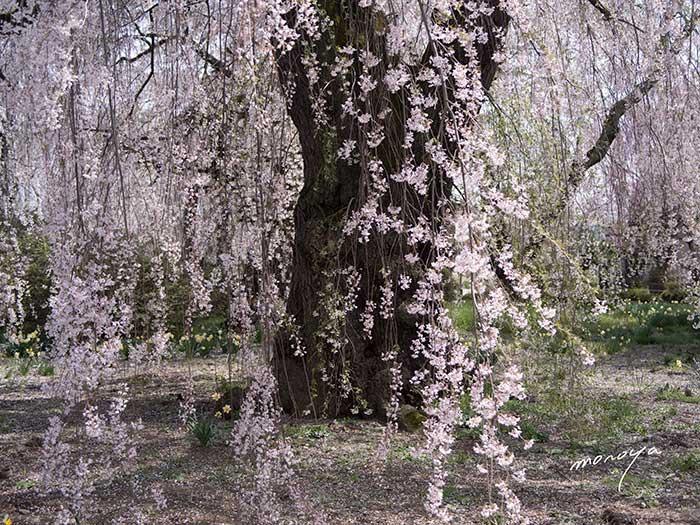 安養寺の枝垂桜2_c0085877_5231726.jpg