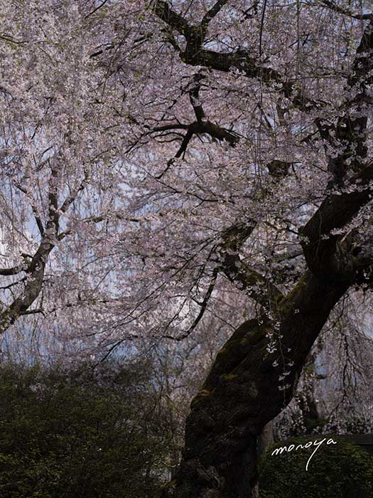 安養寺の枝垂桜2_c0085877_5232677.jpg