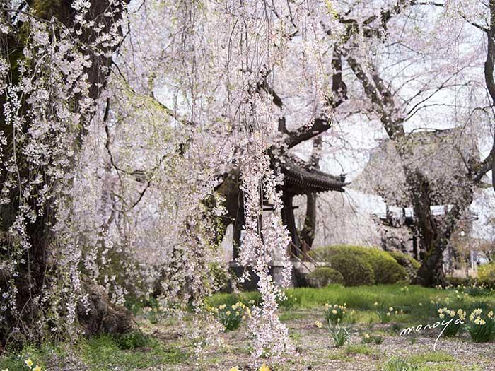 安養寺の枝垂桜2_c0085877_523785.jpg