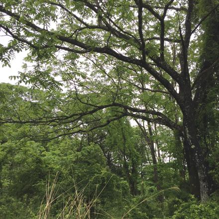 くるみの木の樹形から_b0183404_22063889.jpg