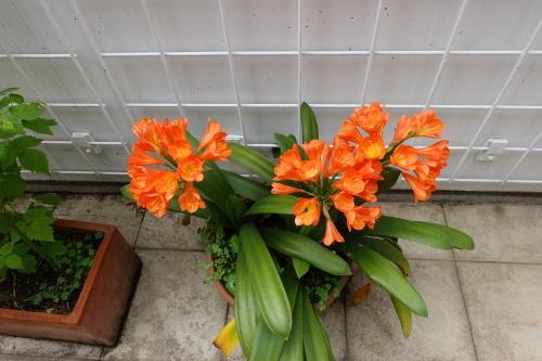 テラスを彩る花々_c0070136_10082697.jpg