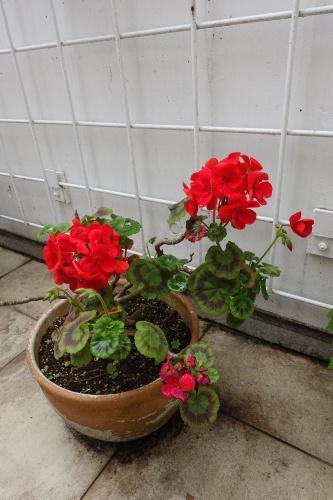 テラスを彩る花々_c0070136_10160405.jpg